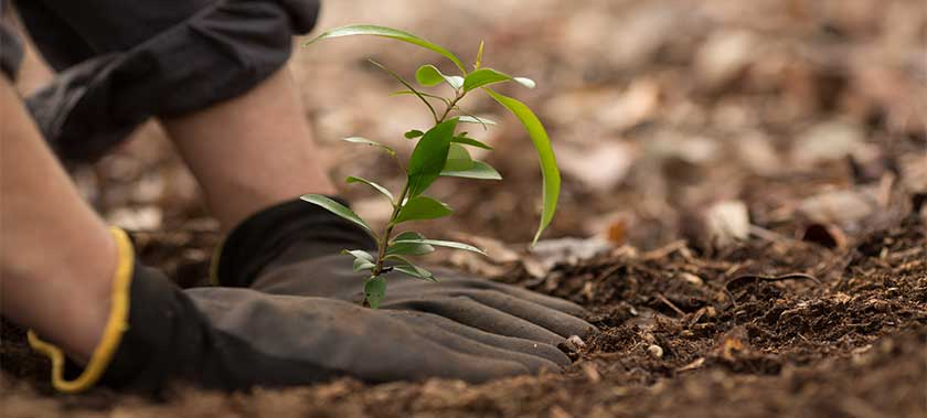 hands of a volunteer planting a seedling baby tree in soil